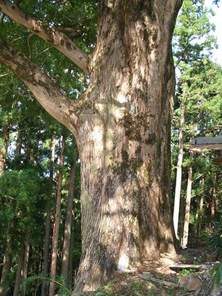 榧の木 本榧は優れた打ち味、木肌の美しさ、特有の香気など、囲碁・将棋の盤材とし... 榧の木とは